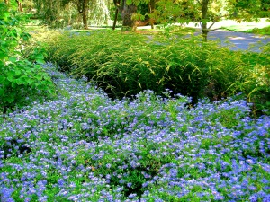 Longwood Gardens asters and solidago